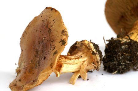 gill: mushrooms, autumn woods, forest harvesting, edible, poisonous, gill, violet leaves, season, danger, dangerous, Russula acre