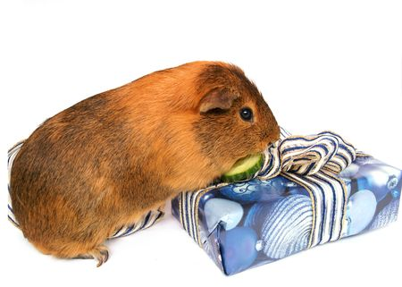 christmas guinea pig: guinea pig, guinea pig, animal, small pet, companion, hair, gifts, package, blue, packaging, Christmas party, December, offering, blue, white background,  Stock Photo