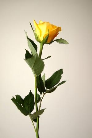 花、ローズ、とげ、茎、葉、花、バレンタインのお祝いを提供する、ロマンス、花びら、壊れやすいフローラ