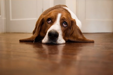 Basset hound rolling its eyes photo