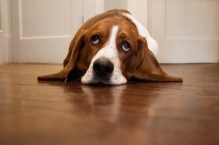 it's: Basset hound rolling its eyes