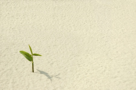strong growth: A single young plant sprouting from a sea of sand.  Stock Photo