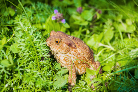 mottled skin: Huge brown toad with mottled skin sits in grass in garden. Closeup Stock Photo
