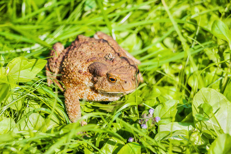 Big toad with brown spotted skin sitting in green grass and looking around