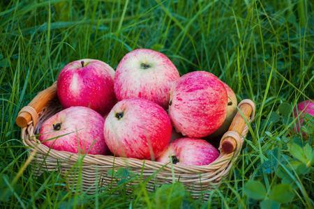 Freshly harvested ripe apples in a small wicker basket on the green grass in the garden. Closeup.