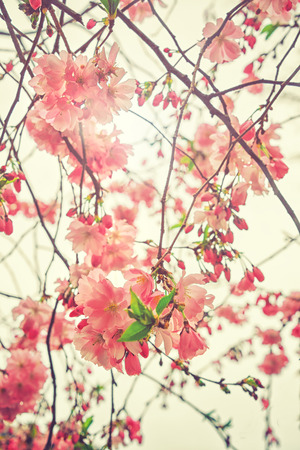 Beautiful flowering Japanese cherry - Sakura. Flowers on a spring day on soft background. Vintage color toned abstract nature background  Stock Photo
