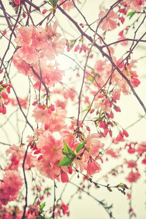 flowers: Hermosa floración de cerezo japonés - Sakura. Flores en un día de primavera en el fondo suave. Color de la vendimia entonó la naturaleza de fondo abstracto