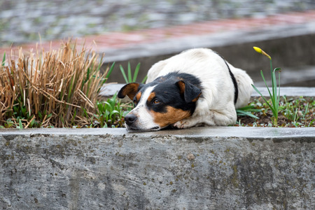 pug nose: Lonely and sad homeless dog lying on the street