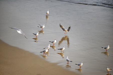 Fock of seagulls on the beach. Ukraine, Odessa