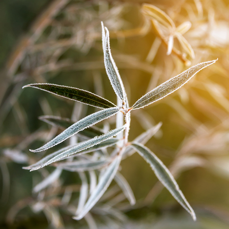 frost winter: Frozen willow leaves. Natural autumn or winter background Stock Photo
