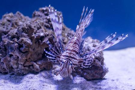 coral reef underwater: Tropical fish swim near coral reef. Underwater life