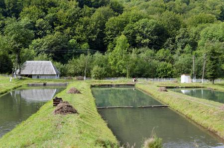 fish farm: Trout fish farm in Carpathian village, Ukraine