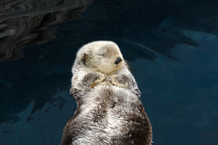 Otter sleeps and floats on his back Stock Photo