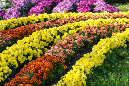 Flower beds with colorful chrysanthemums. Parkland in Kiev, Ukraine