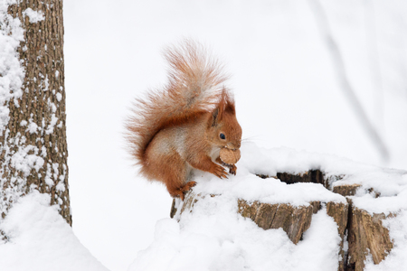 Cute fluffy squirrel eating nuts on a white snow in the winter forest