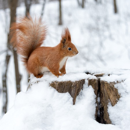 Cute fluffy squirrel on a white snow in the winter forest Standard-Bild