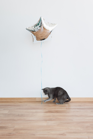 postcard background: Cat playing with baloon holding the ribbon. Russian Blue Cat.