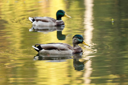 dabbling duck: Mallard ducks swiming in lake or river. Birds and animals, autumn season in wildlife.
