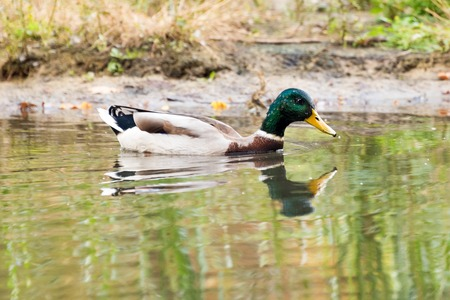 dabbling duck: Mallard duck swiming in lake or river. Birds and animals, autumn season in wildlife.