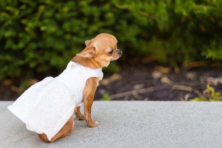 Small dog chihuahua in white dress sitting near the trees in the park. Stockfoto