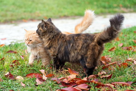 Cats in autumn park. Tortoiseshell and red cats in love walking on colorful fallen leaves outdoor. Stock Photo