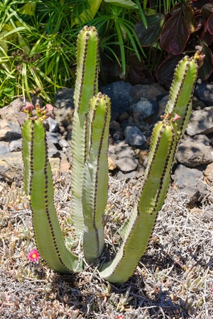 Big cactus outdoor in a desert landscape, Tenerife, Canary islands, Spain