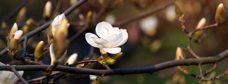Blooming tree branches. Bloomy magnolia tree with big white flowers. Perfect magnolia flower.