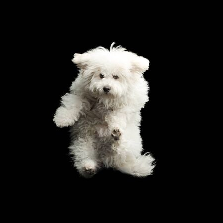 Flying white dog on black background. Jumping happy puppy