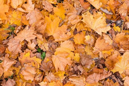 Orange autumn leaves background. Colorful backround of fallen autumn leaves for seasonal use. Dry maple leaves lie on the ground. Space for text. Reklamní fotografie
