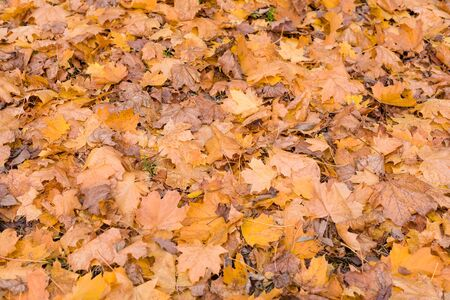 Orange autumn leaves background. Colorful backround of fallen autumn leaves for seasonal use. Dry maple leaves lie on the ground. Space for text. Stock Photo