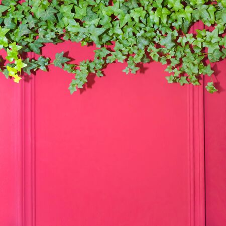 Red wall with frame half covered by Common Ivy. Also known as Hedera helix, English ivy or European ivy. Copy space.