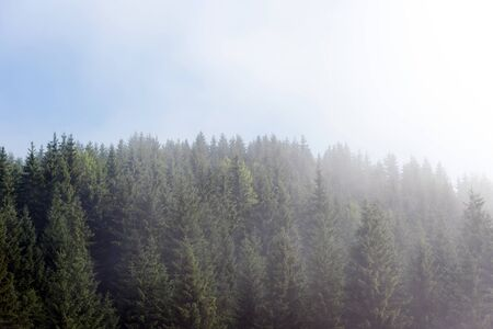 Misty fog in pine forest on mountain slopes in the Carpathian mountains. Landscape with beautiful fog in forest on hill Stock Photo