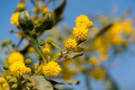 Blooming mimosa tree or acacia bunch over blue sky. Mimosa spring flowers easter background Stock Photo