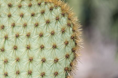 Closeup of spines on cactus, background cactus with spines. Big cactus surface, natural background.