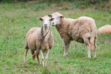 Schafgruppe und Lamm auf einer Wiese mit grünem Gras. Schafherde. Konzept des ländlichen Lebens. Schafe weiden in der Natur