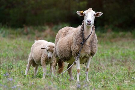 Sheep group and lamb on a meadow with green grass. Flock of sheep. Rural life concept. Sheep are grazing in the nature