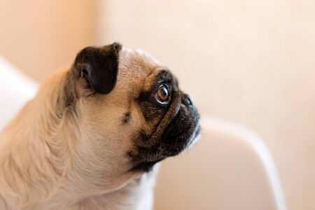 Lovely funny white cute pug dog close up making sad face waiting for food. Selective focus on eyes.