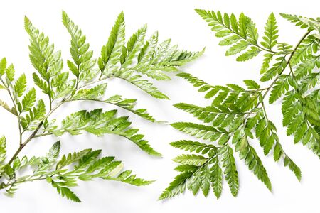 Fresh green leaves on white background. Flat lay, top view. Tropical nature design, spring and summer lush concept.