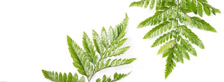 Fresh green leaves on white background. Flat lay, top view, copyspace. Nature design, spring and summer lush concept.