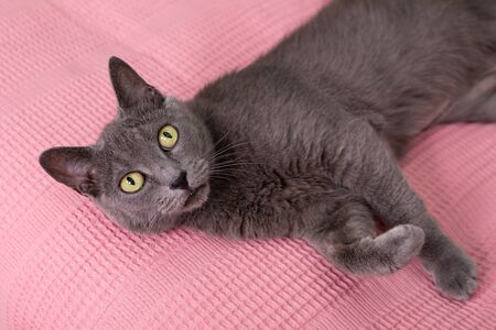 Cat relaxing on the couch. Russian blue cat relaxing on the sofa. Imagens - 150297721