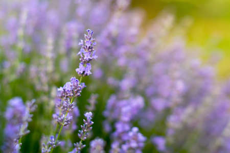Lavender flowers, soft focus. Field of lavender, Lavandula angustifolia, Lavandula officinalis. Aromatherapy, nature cosmetics, ingredients and herbs for eco products 免版税图像