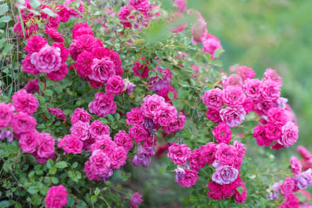 Pink roses in the garden. Blooming climbing roses on the bush. Flowers growing in the garden, selective focus.