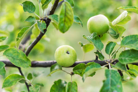 Small young apples growing on the tree. Unripe green fruits hanging on a branch of appletree in the garden in summer. Gardening
