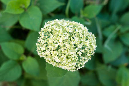 White flowers of panicle hydrangea on a background of green leaves, top view.
