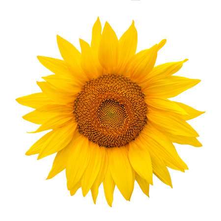 Sunflower isolated on white background. Harvest time, agriculture, oil and seeds, farming, autumn concept. Large common sunflower on white as package design element