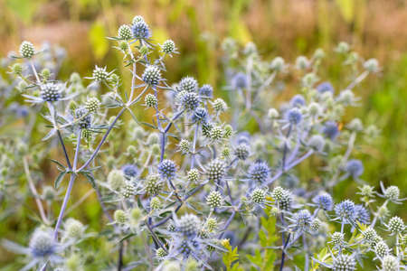 Eryngium planum or Blue Sea Holly in garden. Wild herb plants, thorny healing weeds.