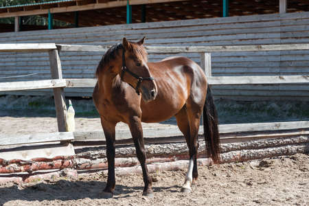 Bay horse standing at wooden fence on a farm. Horses on a ranch at summer Stock fotó