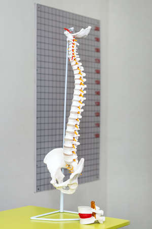 Anatomical model of spinal column. Artificial human cervical spine model in medical office. Copyspace for text.