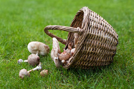 Freshly picked wild mushrooms from the local forest. Edible mushrooms in a wicker basket on a green grass. Delicious organic mushrooms for cooking. Macrolepiota procera, the parasol and milk mushroom.