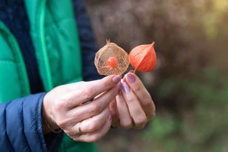 Physalis peruviana fruit, ripe goldenberries with dry leaves in female hands. Woman holding groundcherries or Cape gooseberry, husk tomatoes. Autumn garden plants. Archivio Fotografico